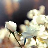 シュネービッチェンの白い薔薇